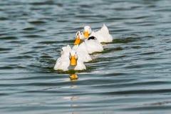 Inhemska vita Duck Swimming i dammet Royaltyfri Foto