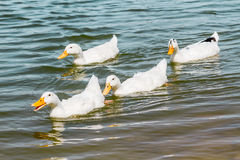 Inhemska vita Duck Swimming i dammet Arkivfoto