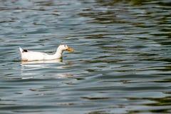 Inhemska vita Duck Swimming i dammet Royaltyfria Foton