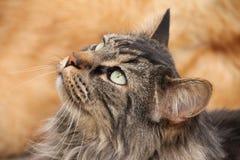 Inhemskt medelhår Cat Looking Up Arkivfoton