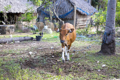 Inhemskt nötkreatur för Balinese, Nusa Penida-Bali, Indonesien royaltyfri fotografi