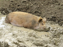 Inhemskt svin royaltyfri bild