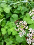 Inhysa den klipska Muscadomesticaen på ett blommande blommahuvud I Royaltyfri Fotografi