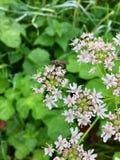 Inhysa den klipska Muscadomesticaen på ett blommande blommahuvud I Royaltyfria Foton