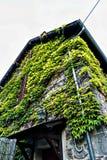 Inhysa vinrankor i stad av St Nectaire, Auvergne, Frankrike Arkivfoto