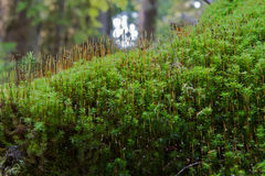 Ini Forest of moss Royalty Free Stock Photo