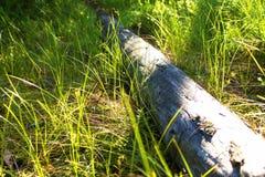 Inicio de sesión herboso el bosque ruso Imágenes de archivo libres de regalías