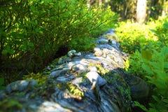 Inicio de sesión herboso el bosque ruso con los sponks Fotografía de archivo