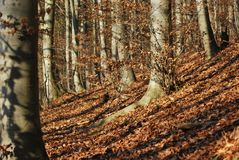 Atmosphere of beech forest Royalty Free Stock Photos
