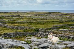 A goat resting on the rocks, Inishmore, Aran Islands, Ireland. Inishmore, Aran Islands, Galway Bay, Ireland Stock Photography