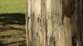 Initial lovers written in a tree trunk, eucalyptus trunk royalty free stock photos