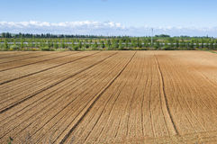 Initial stages of cornfields Stock Photography