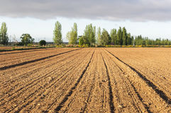 Initial stages of cornfields Stock Images