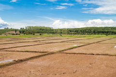 Initial stages of rice in the plain Royalty Free Stock Photo