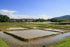 Inizi il giacimento del riso dell'agricoltura Fotografie Stock