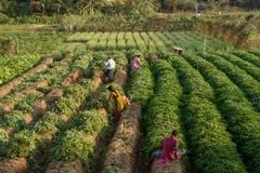 Inizi a raccogliere le patate dolci in un villaggio indiano Immagine Stock Libera da Diritti
