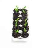 Iniziare le verdure dai semi Fotografia Stock Libera da Diritti