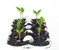 Iniziare le verdure dai semi Immagine Stock