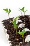 Iniziare le verdure dai semi Immagini Stock Libere da Diritti