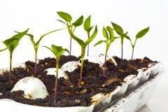 Iniziare le verdure dai semi Fotografia Stock
