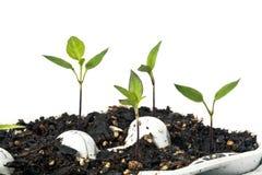 Iniziare le verdure dai semi Fotografie Stock Libere da Diritti