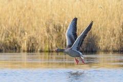 Iniziare oca selvatica sul lago, anser del Anser, Germania, Europa Immagine Stock Libera da Diritti