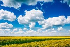 Inizio dell'estate, Canola di fioritura, violenza, seme di ravizzone, giacimento U del seme oleifero Fotografia Stock Libera da Diritti