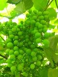 Inizio dell'estate dell'uva verde Fotografie Stock Libere da Diritti
