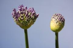 Inizio della fioritura di allium Fotografia Stock