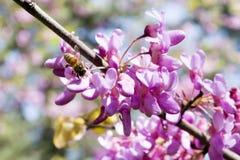 Inizio della primavera di raccolta del miele Fotografia Stock