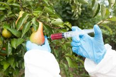 Genetically modified fruit, injecting artificial color in pears. Royalty Free Stock Photos