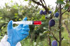 Genetically modified fruit, injecting artificial color in plums Stock Image