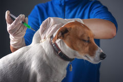 Injecting. Dog injecting by vet doctor stock photo