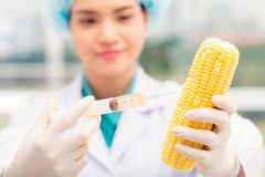 Injecting GMO. Scientist injecting GMO into ripe corn royalty free stock images