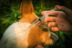 Injection de chien Photo libre de droits