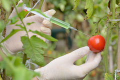 Injection into red tomato Stock Images
