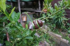 Injerto del árbol de cal, estilo local en Tailandia fotografía de archivo libre de regalías