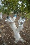 Injerto del árbol de mango fotos de archivo libres de regalías