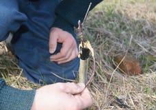 Injerto del árbol frutal Ciérrese para arriba en la mano del hombre del jardinero que injerta el manzano fotografía de archivo