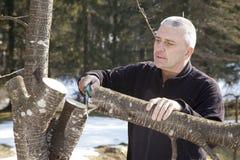 Mediados de sawing envejecido del jardinero del hombre, árbol frutal del corte Foto de archivo libre de regalías