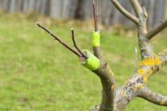 Injerto del manzano viejo el la primavera foto de archivo libre de regalías