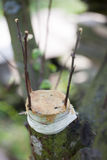Injerto del árbol frutal Fotografía de archivo libre de regalías