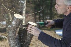 Mediados de sawing envejecido del jardinero del hombre, árbol frutal del corte Fotos de archivo
