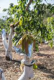 Injerto en árbol de mango fotografía de archivo libre de regalías