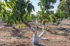 Injerto en árbol de mango imagenes de archivo