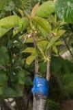 Injerto en árbol frutal imagenes de archivo