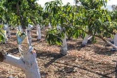Injerto en un árbol de mango fotografía de archivo