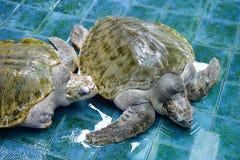 Injure Turtles. Injured Sea Turtles were treated at aquarium Stock Image
