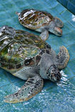 Injure Turtles. Injured Sea Turtles were treated at aquarium Royalty Free Stock Image