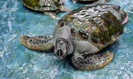 Injure Turtles Stock Photo